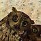 Owls - all media