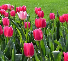 Spring red tulip flowers and green leaves  in The Butchart Gardens, Victoria, BC, Canada. by naturematters