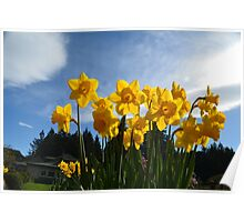 Yellow daffodil flowers in sunlight and blue sky. Poster