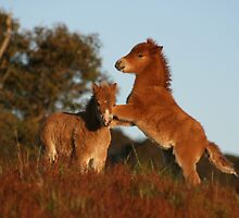 Silver Oak Miniature Horses by Leanne Williams