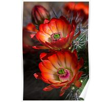 Hedgehog Blossoms in the Morning Light  Poster