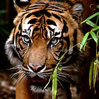 Sumatran Tiger VI by Tom Newman