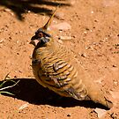 spinifex Pigeon by bettyb