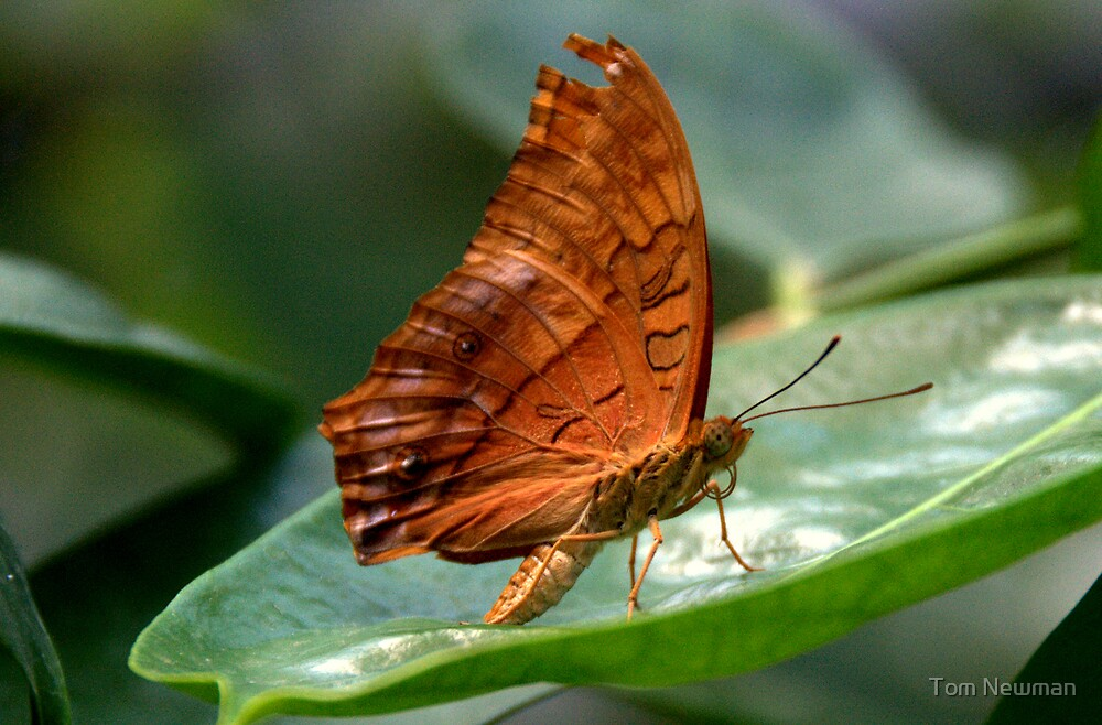 Cruiser Butterfly  II by Tom Newman