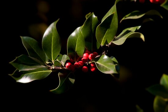 Holly bush by Margund  Sallowsky