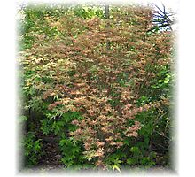 Butterfly Japanese Maple in Spring Photographic Print