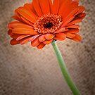 Orange Gerbera by JEZ22