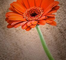 Orange Gerbera by JEZ22