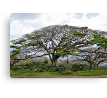 Monkey Pod Tree Canvas Print