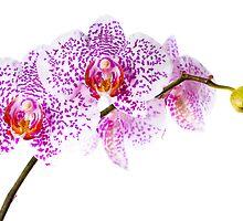 phalaenopsis by peterwey