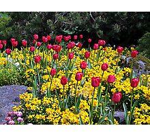 Tulips on Display Photographic Print