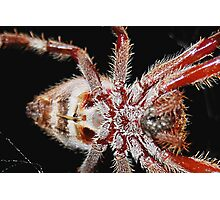spider belly Photographic Print