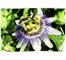 passionfruit flower Poster