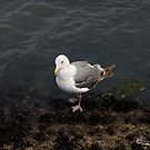 Seagull by Krysanthium