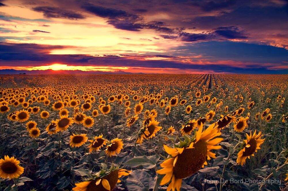 Sunflowers and Colorado Sunsets  by John  De Bord Photography