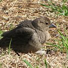 """fluffed up"" cowbird by tomcat2170"