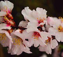 Almond blossom 2 by Ieva Samsina