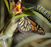 Milkweed and Monarchs by Donna Adamski