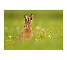 Young Brown Hare Photographic Print