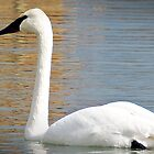 """"""" The Trumpeter Swan"""" by Malcolm Chant"""