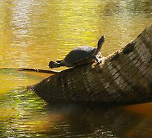 Pond Turtle Clapping Her Feet ?  (Samana) by Carole Boudreau