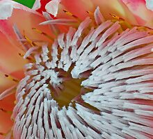 King Protea centre detail by Renee Hubbard Fine Art Photography