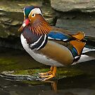 Mandarin Duck at Martin Mere WWT by Steve  Liptrot