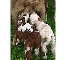 Suckling Lambs Photographic Print