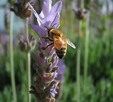 Bee in Lavender by Dawn Ostendorf