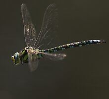 Southern Hawker male (Aeshna cyanea) in flight by DragonflyHunter