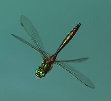 Brilliant Emerald Dragonfly (Somatochlora metallica) in flight by DragonflyHunter