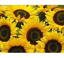 A mass of sunflowers Photographic Print