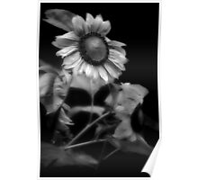 Sunflower Without Sun Poster