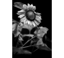Sunflower Without Sun Photographic Print