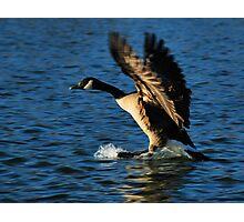 Skiing Goose Photographic Print