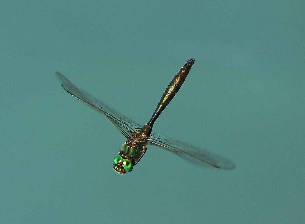 Brilliant Emerald Dragonfly (Somatorchlora metallica) by DragonflyHunter