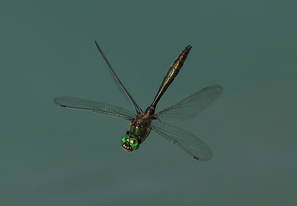 Brilliant Emerald in Flight by DragonflyHunter