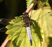 Scarce Chaser male (Libellula fulva) by DragonflyHunter