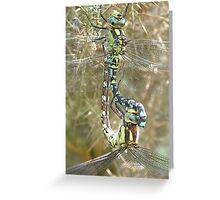 Southern Hawker pair in tandem, mating wheel (Aeshna cyanea) Greeting Card