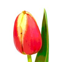 Red and yellow tulip, pop art by Ashley Crombet-Beolens