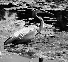 Blue Heron Black&White by TLWhite