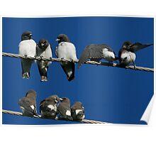 White-breasted Woodswallow, Artamus leucorynchus Poster