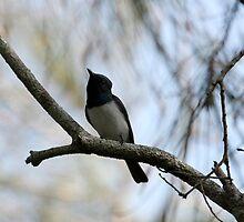 Leaden Flycatcher (Myiagra rubecula) (Male) by Normf