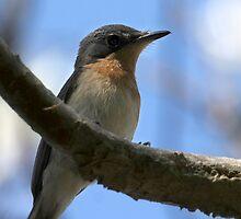 Leaden Flycatcher (Myiagra rubecula) (Female) by Normf