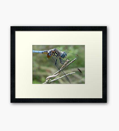 Blue Dasher Framed Print