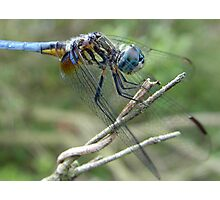 Blue Dasher Photographic Print