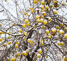 apples sag on tree in snow by Arletta Cwalina
