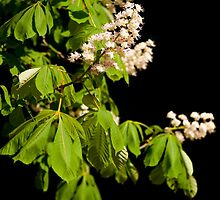 blooming Aesculus tree on black by Arletta Cwalina