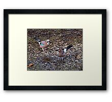 Two Jays Framed Print