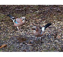 Two Jays Photographic Print